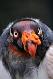 Verticale du Roi vautour Photos stock