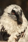 Verticale du vautour blanc Images libres de droits