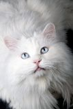 Verticale du vieux chat? Images libres de droits
