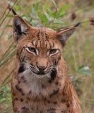 Verticale eurasienne de lynx (lynx de lynx) Image stock