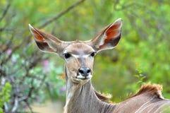 Verticale femelle de Kudu Photo libre de droits