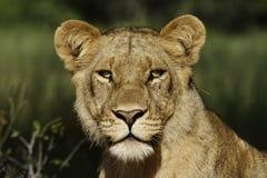 Verticale femelle de lion, Botswana Image stock