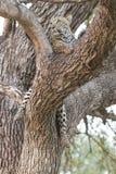 Verticale foto die van luipaard in boom rust Stock Foto