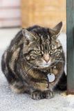 Verticale foto van het zwaarlijvige knorrige tijgerkat liggen royalty-vrije stock foto's