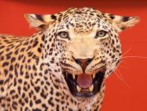 Verticale gentille d'un léopard bourré Photos libres de droits