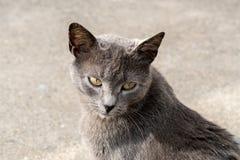 Verticale grise de chat Photographie stock libre de droits