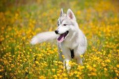 Verticale grise de chien de traîneau sibérien Photos stock