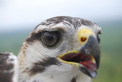 Verticale grise de faucon Image stock