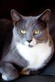 Verticale grise et blanche de chat photos libres de droits