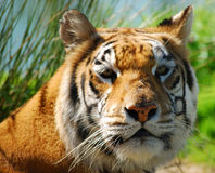 Verticale indienne de tigre Image libre de droits