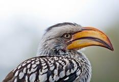 Verticale jaune de hornbill Photo libre de droits