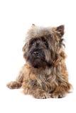 Verticale menteuse de chien terrier de cairn. Photos libres de droits