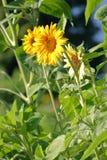 Verticale Middelgrote mening van Dwergzonnebloemen Royalty-vrije Stock Foto's