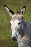 Verticale mignonne d'âne Image stock