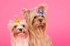 Verticale mignonne de chiens terriers de Yorkshire Images stock