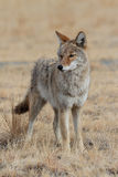 Verticale mâle de coyote Photos libres de droits