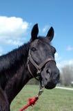 Verticale noire de cheval Photographie stock