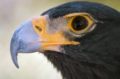 Verticale noire magnifique d'aigle. Image libre de droits
