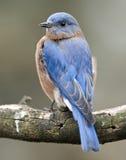 Verticale orientale d'oiseau bleu Images stock