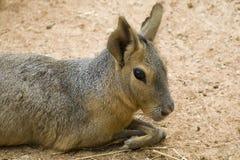 Verticale Patagonian de lièvres image stock
