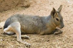 Verticale Patagonian de lièvres photos stock