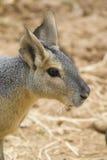 Verticale Patagonian de lièvres photo libre de droits
