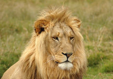 Verticale principale de lion Photos stock