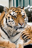 Verticale principale de tigre Photo stock