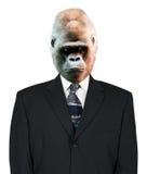 Verticale, procès et relation étroite d'homme d'affaires de gorille, d'isolement Photos stock