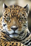 verticale proche de léopard vers le haut Photos stock