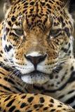 verticale proche de léopard vers le haut Image stock