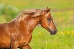 Verticale rouge de cheval images stock