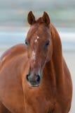 Verticale rouge de cheval photos libres de droits
