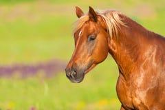 Verticale rouge de cheval photo libre de droits