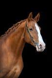 Verticale rouge de cheval photographie stock libre de droits