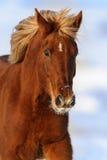 Verticale rouge de cheval images libres de droits