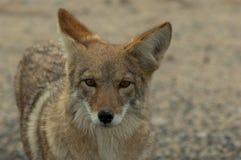 Verticale sauvage 2 de coyote Image libre de droits