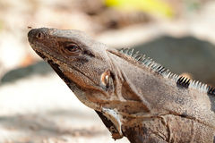 Verticale sauvage d'iguane Photo stock