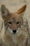 Verticale sauvage de coyote Photographie stock libre de droits