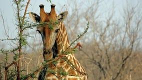 Verticale sauvage de giraffe, sables de Sabi Image libre de droits