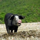 Verticale sauvage de porc Photo libre de droits