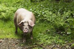 Verticale sauvage de porc Images libres de droits