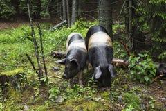 Verticale sauvage de porc Photographie stock libre de droits