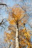 Verticale vage beukboomstam en geconcentreerde kleurrijke de herfsttreetop Stock Foto