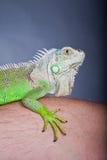 verticale verte d'iguane Photo libre de droits