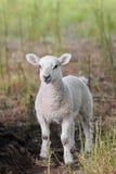 Verticale verticale d'agneau incroyablement mignon de source i Images stock