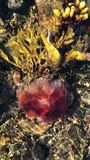 Verticale video van rode kwallen in zeewieren stock videobeelden