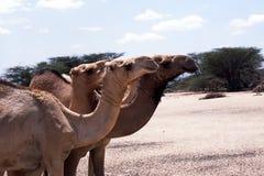 Verticales de chameau Photos libres de droits
