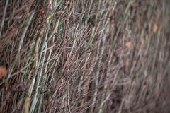 Vertically arranged branches of bushes with fallen leaves. Texture trimmed trees and bushes in the autumn-winter period. royalty free stock photos