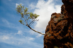 Vertically challenged tree in Archean rock - Australia Stock Photo